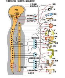 ストレートネックと自律神経